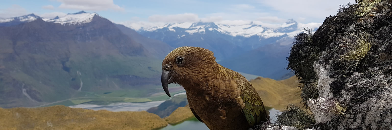Kea on Eco Wanaka Guided Hiking Adventures